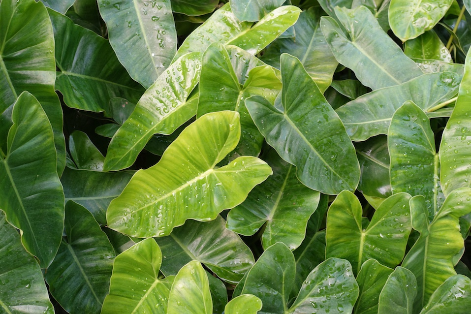 Long green leaves in the garden (Philodendron)