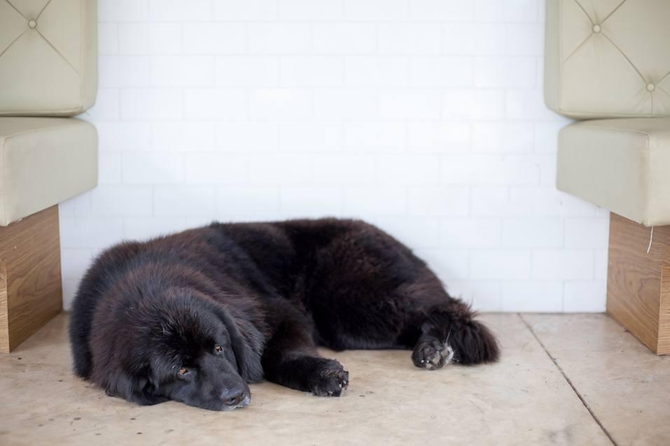 Newfoundland dog sleep on floor