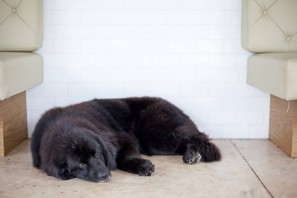 Newfoundland dog sleep on floor