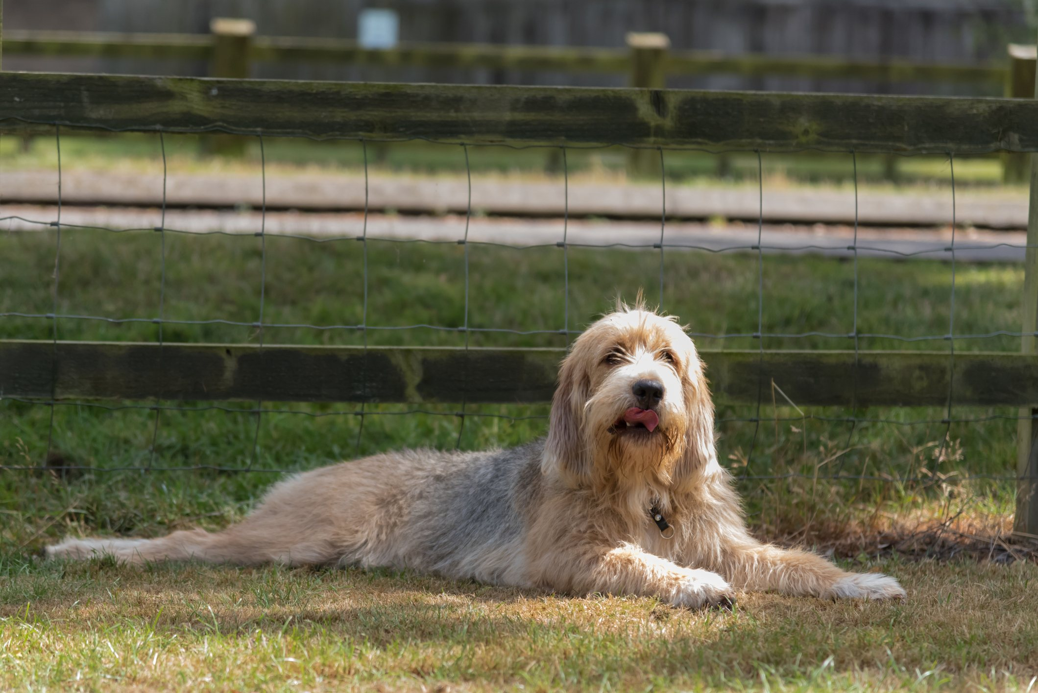 Otterhound lying down stretched out by a fence in the shade