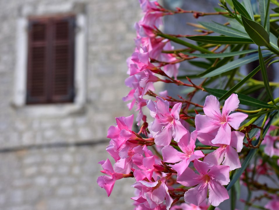 Pink Oleander with house