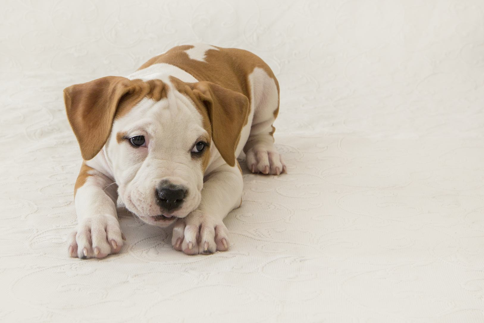 Cute puppy pitubull American Staffordshire Terrier isolated on white background. Close-up with space for copy