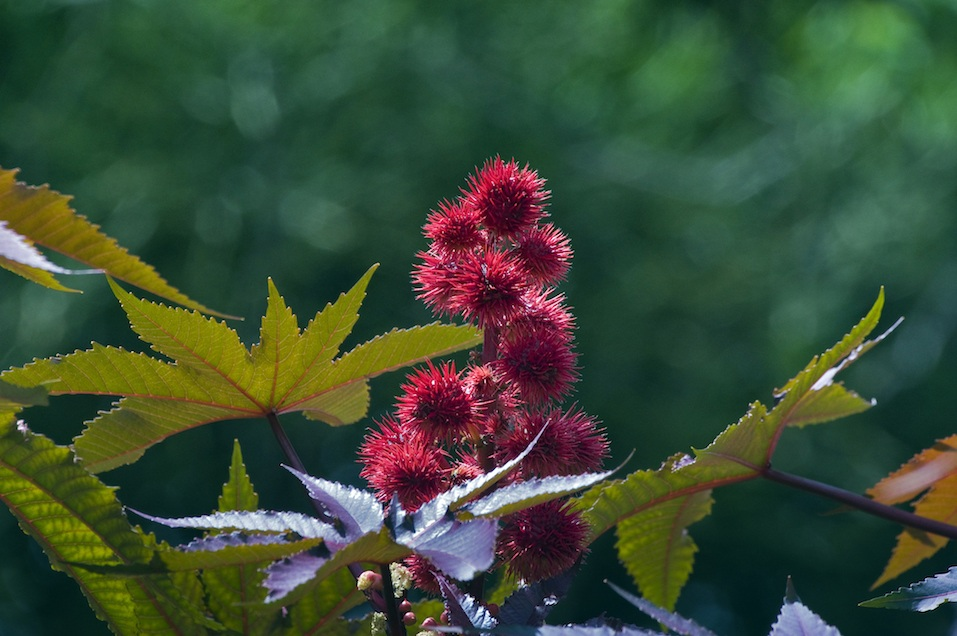 Red castor oil plant, beautiful ornamental plant