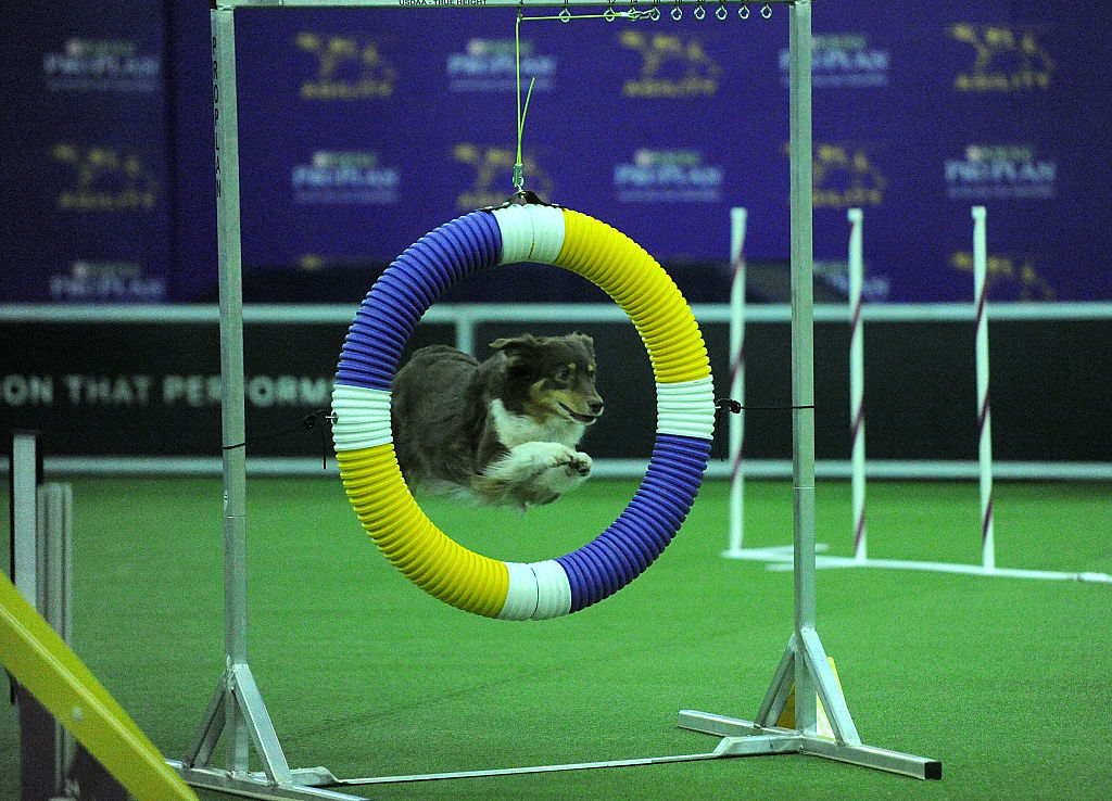 border collie competes on the agility course