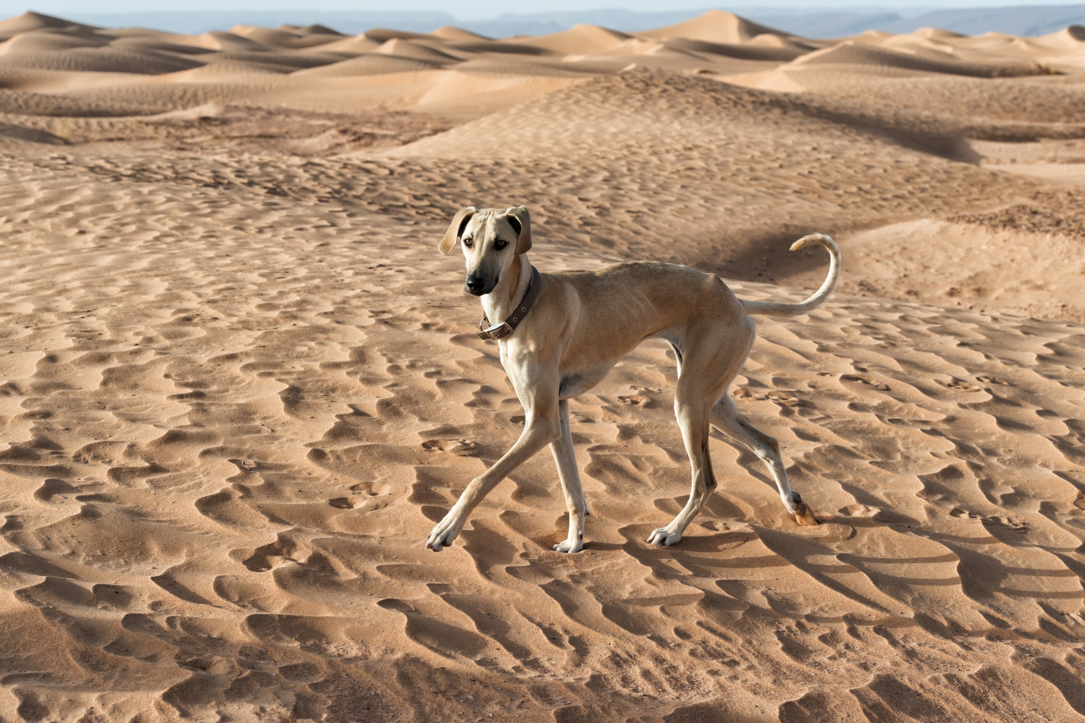 Sloughi greyhound in enjoys the sand dunes in Morocco.