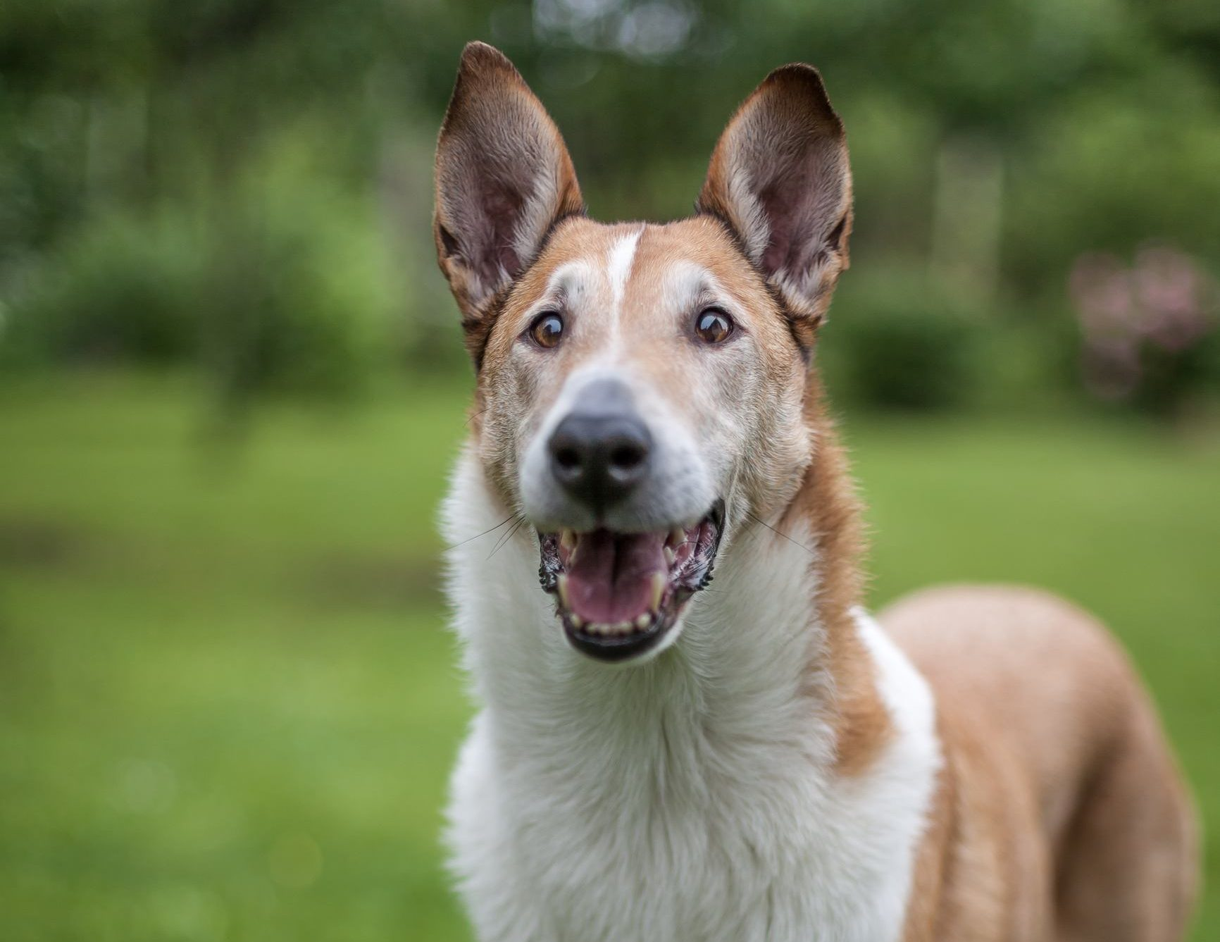 Smooth Collie standing on the grass