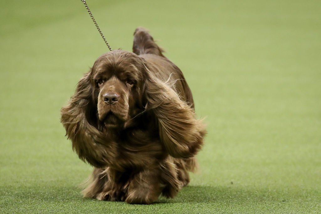 a Sussex Spaniel and winner of the sporting group, competes in during the final night of the 142nd Westminster