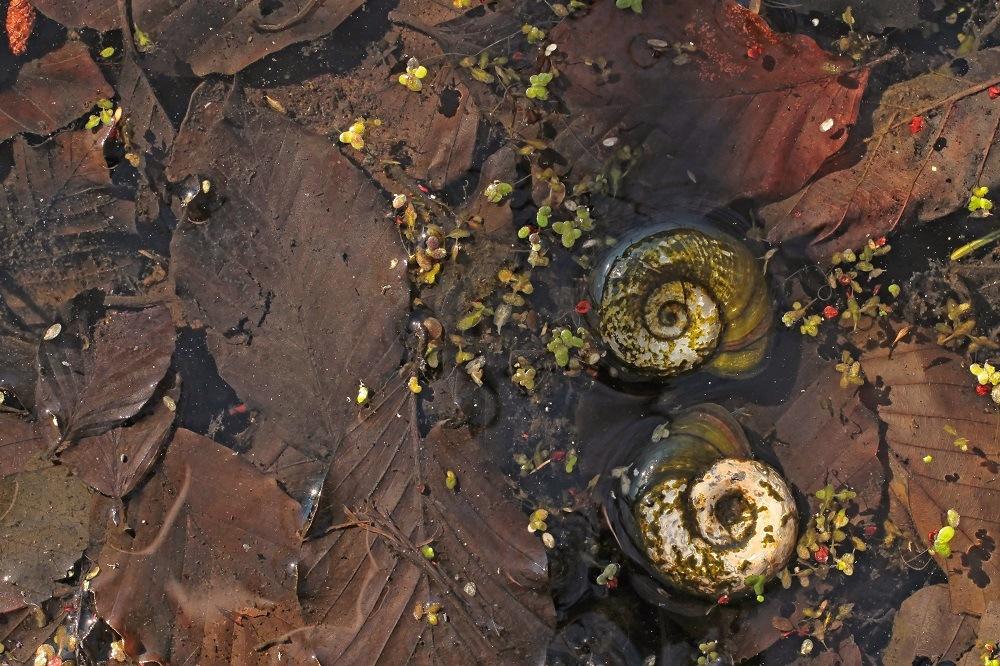 Water snail