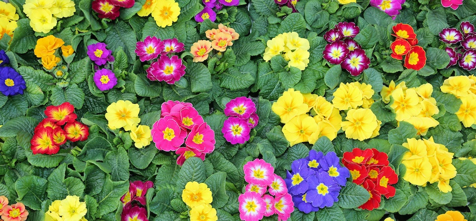 many colorful primroses