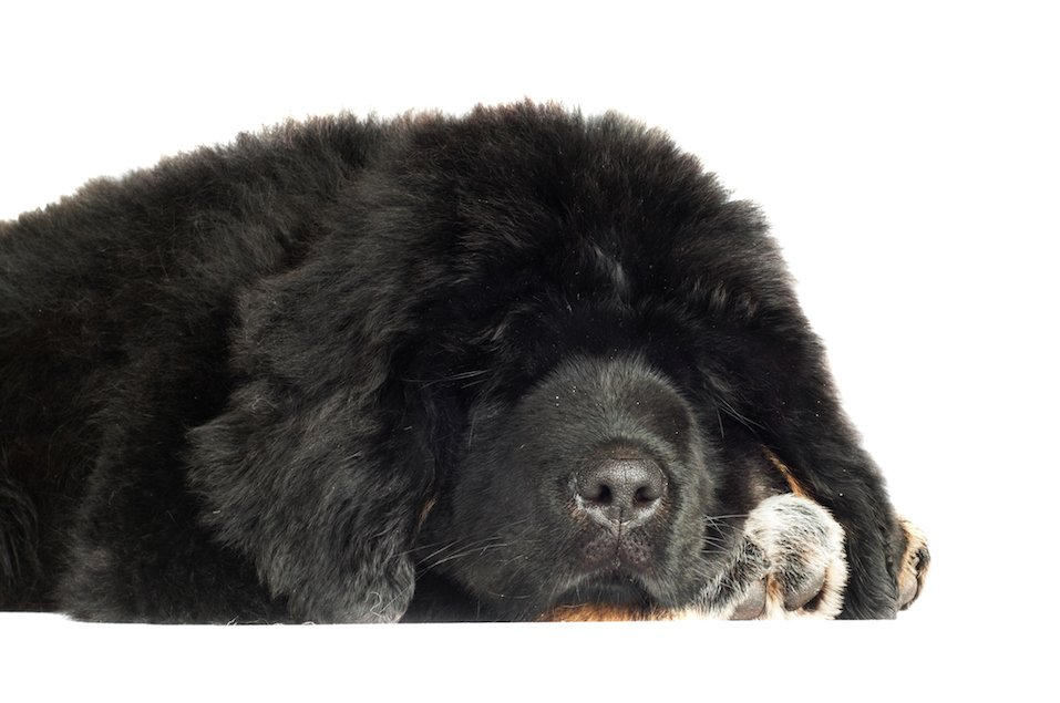 tibetan mastiff puppy sleeping