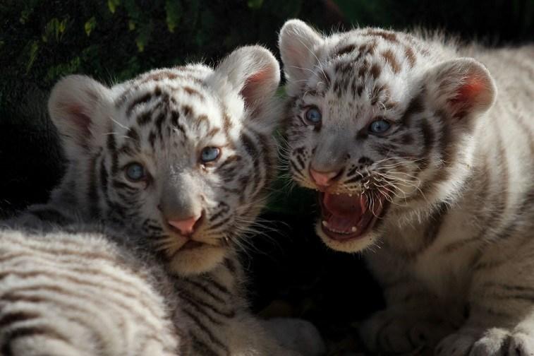 View of two white Bengal tiger (Panthera tigris) cubs, born twenty days ago at San Jorge zoo in Ciudad Juarez, Chihuahua state, Mexico on November 28 , 2017.