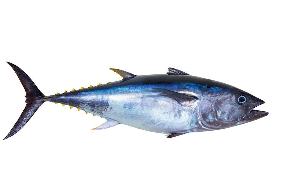 Bluefin tuna really fresh