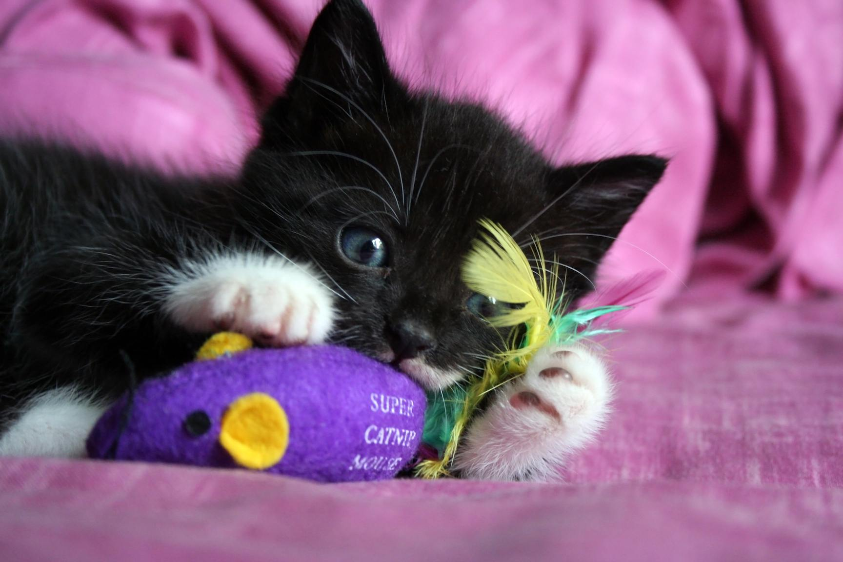 Kitten playing with catnip mouse toy