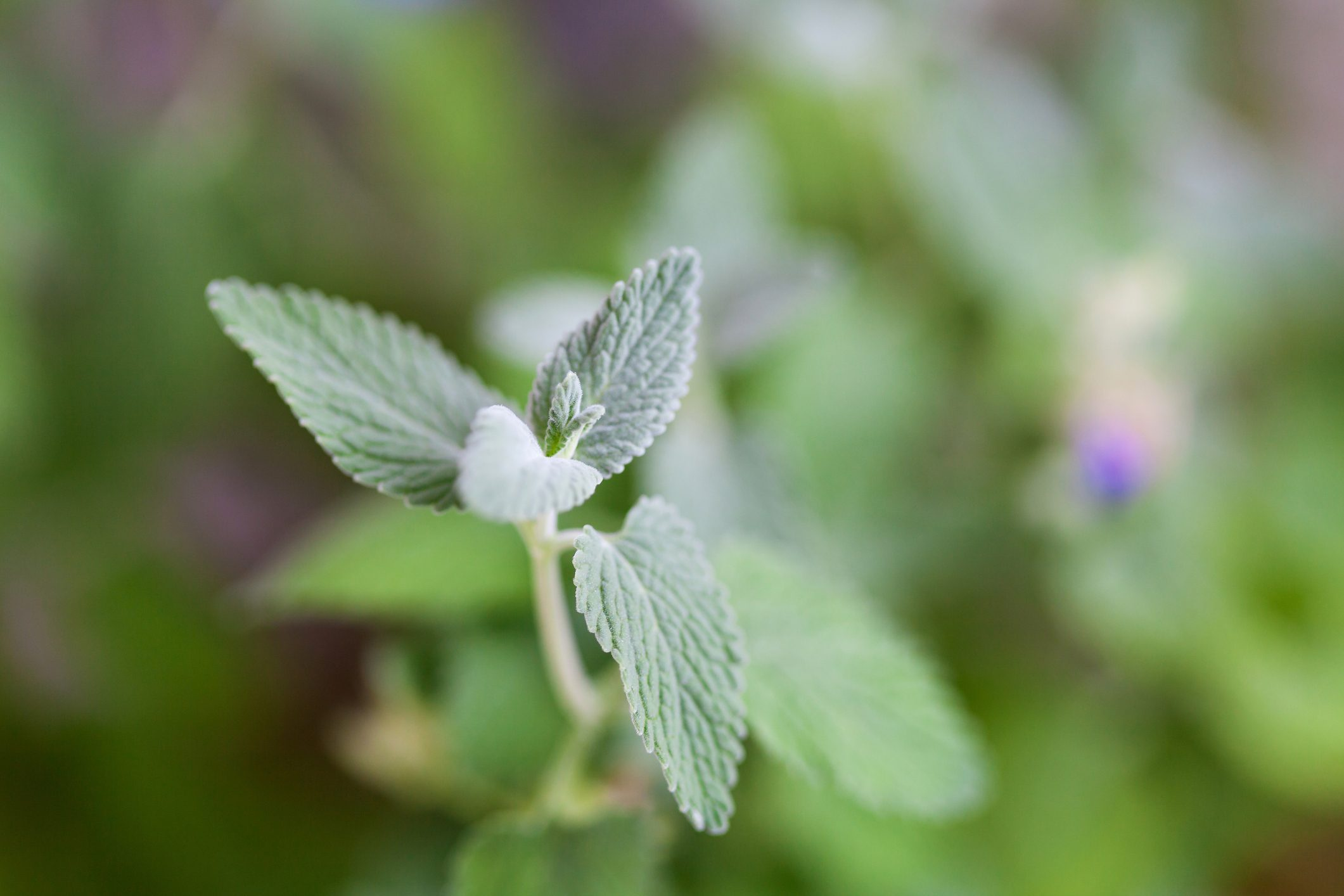 Close up of catnip, green herb growing in a container