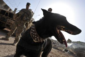 These Brave Dogs Go to War to Fight for Our Country