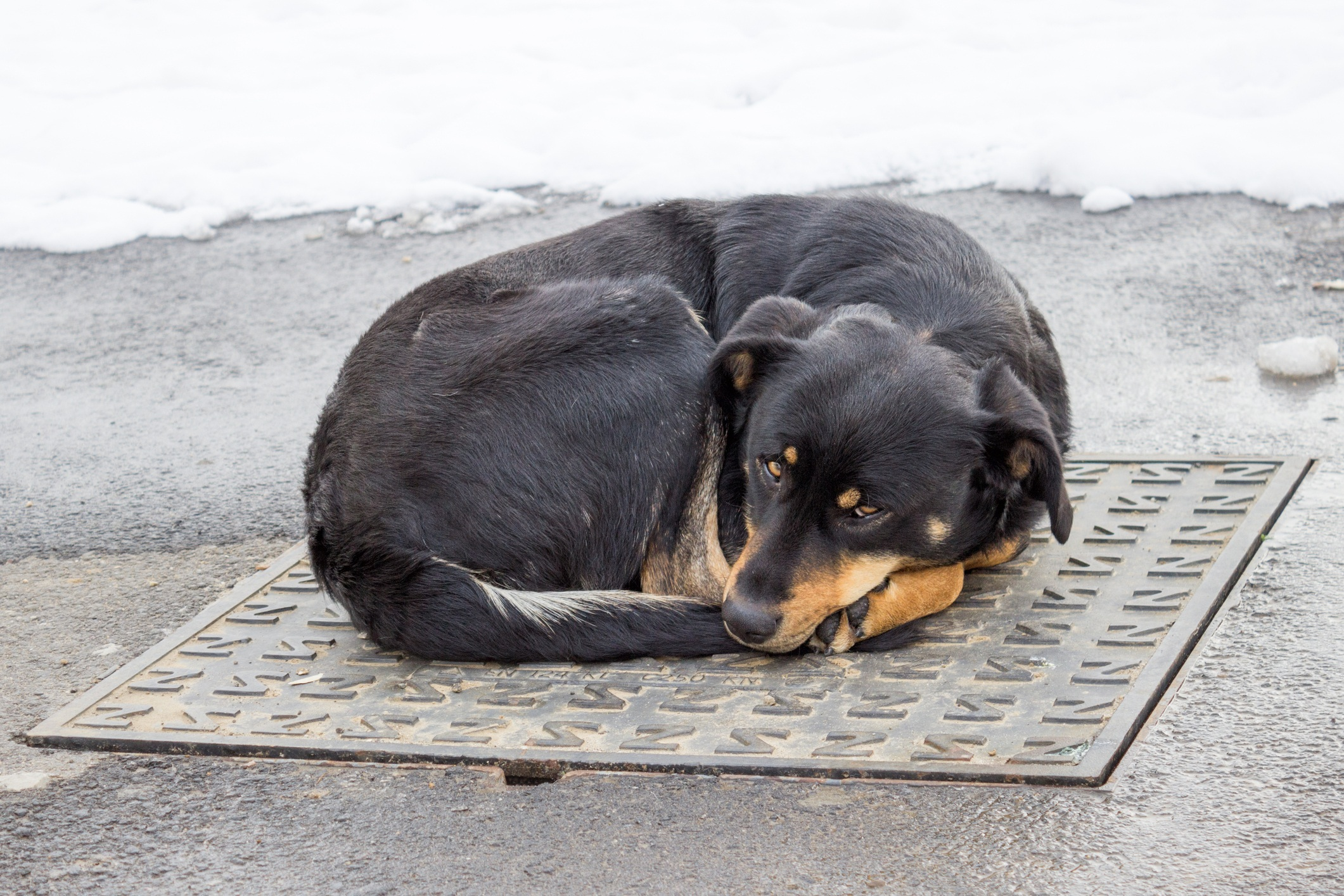 Dog lying on iron man-hole cover in winter time
