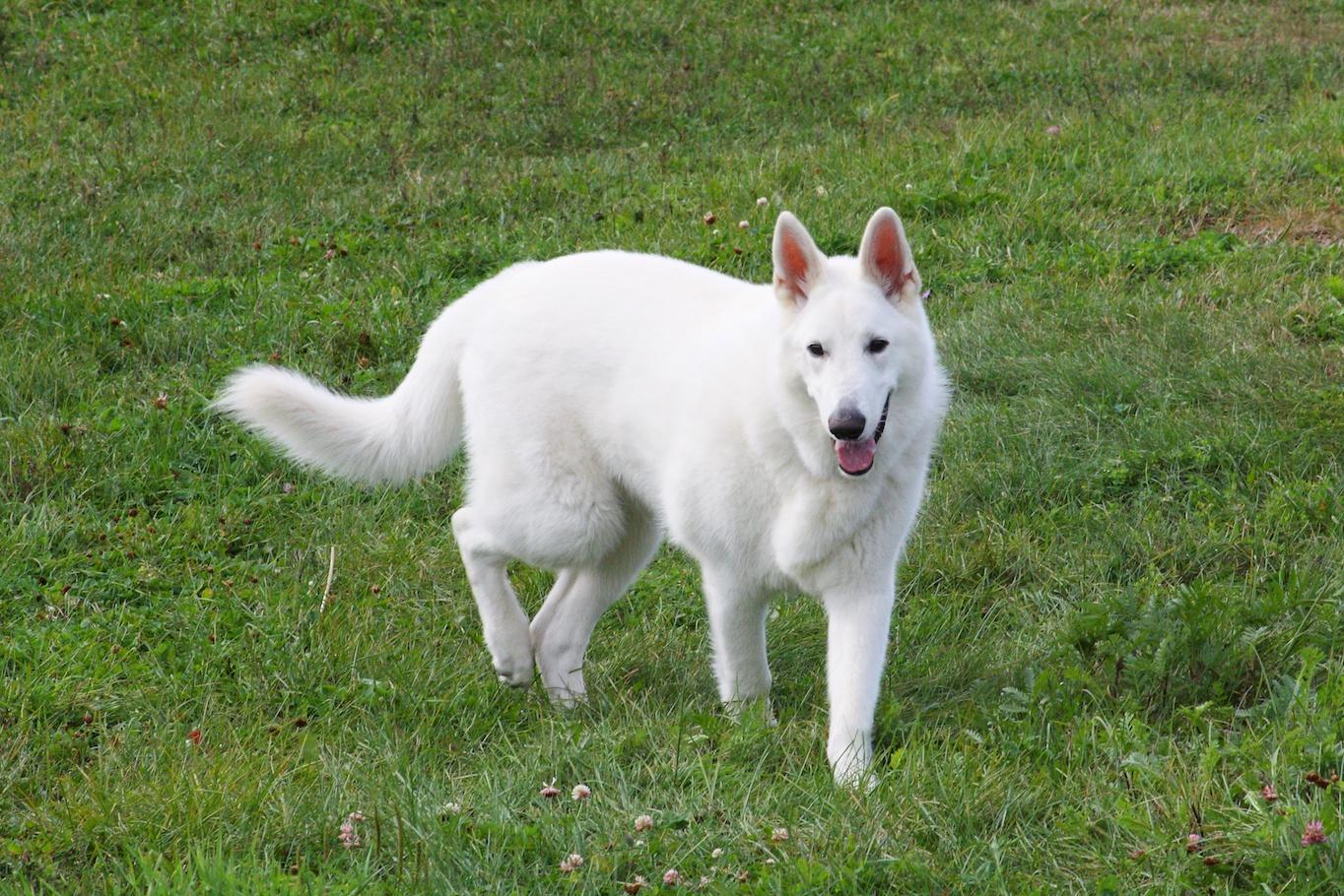White German Shepherd walking
