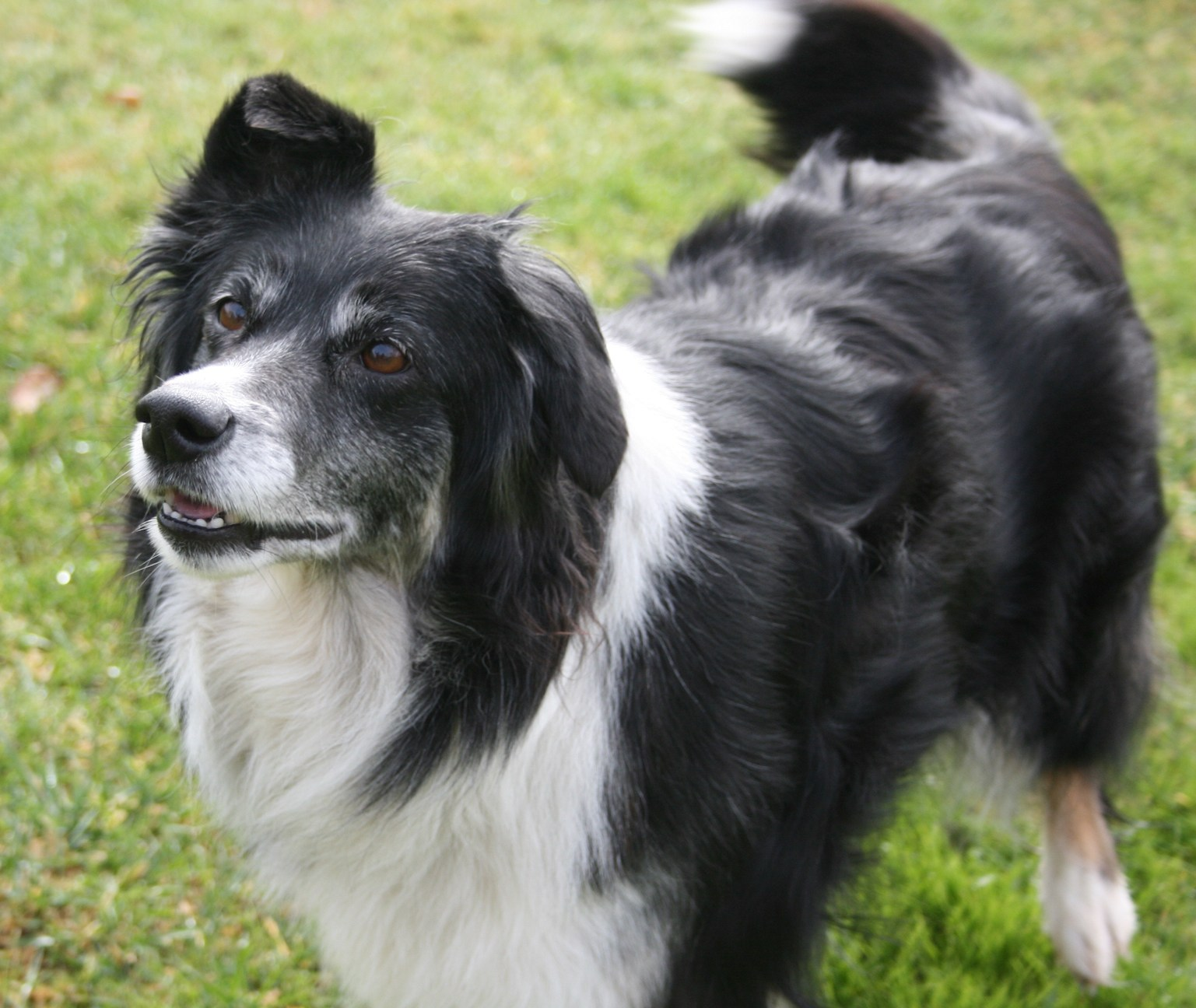 black and White border collie wagging tail