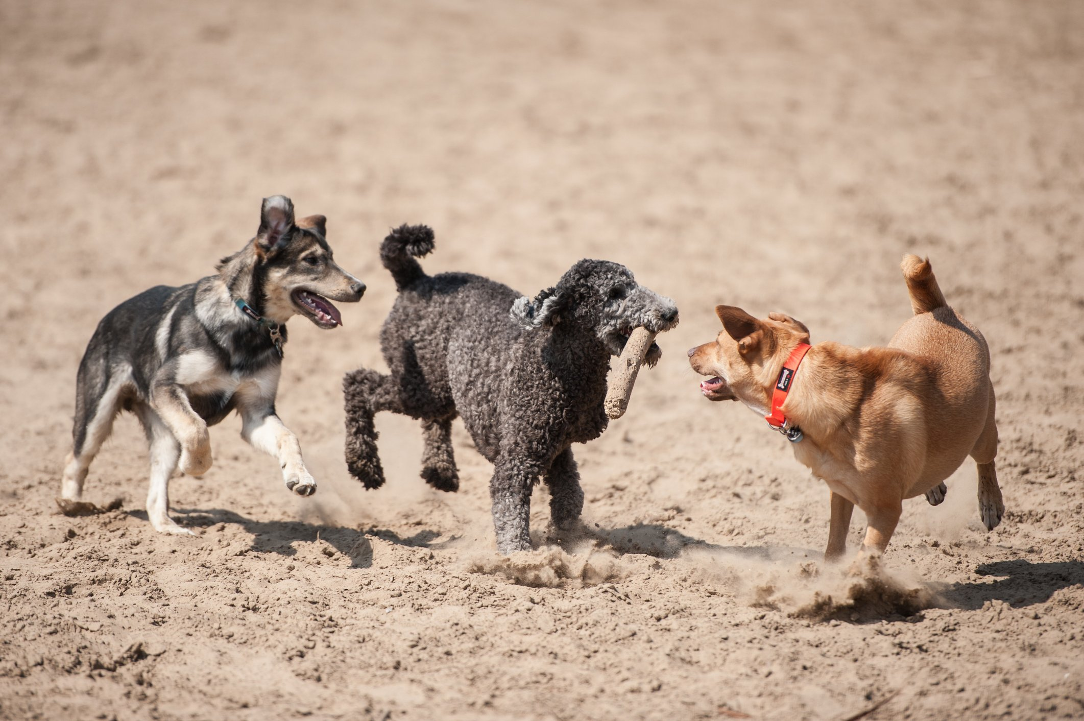 Three dogs running at dog park with a stick outside in the dirt.