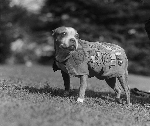 Sergeant Stubby Dog Wearing Military Medals