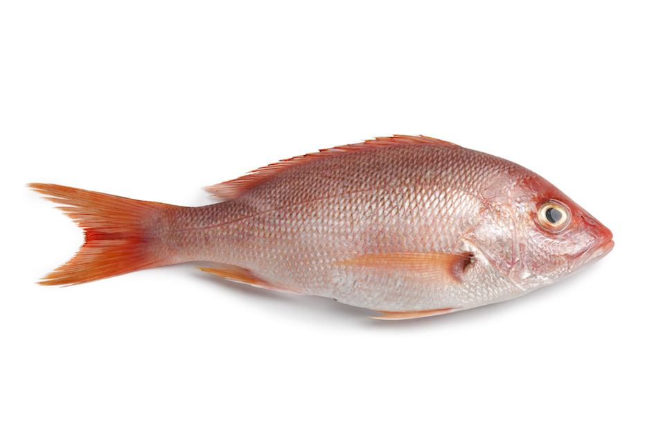 fresh red snapper