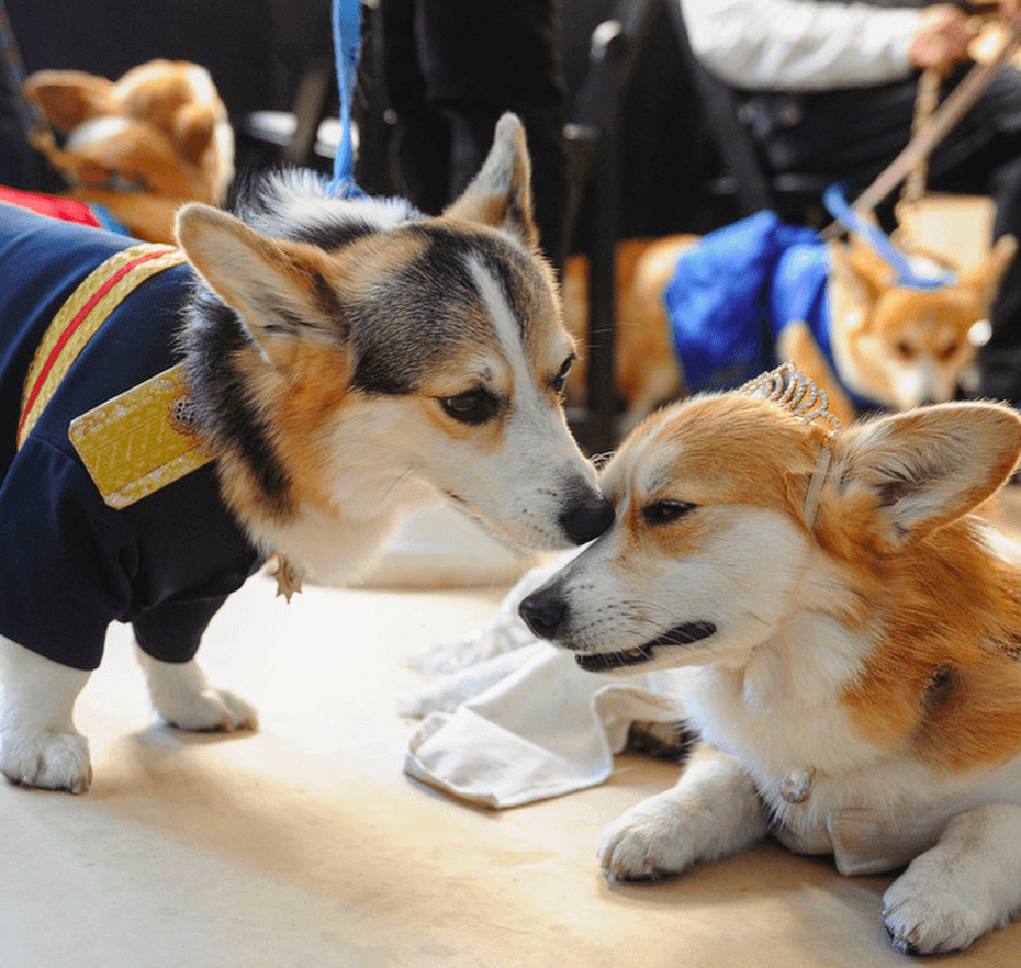 corgi royal wedding