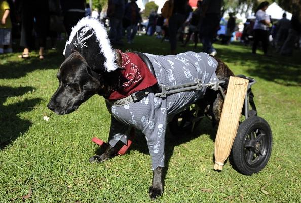 Leo, a parapalegic boxer-Labrador mix, is dressed as a pirate with a peg leg.