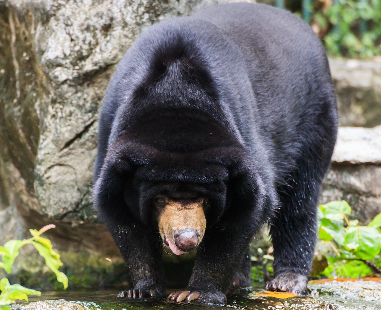 Black Malayan sun bear