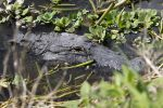 Everything We Know About the 12-Foot Alligator Who Killed a Woman Tragically