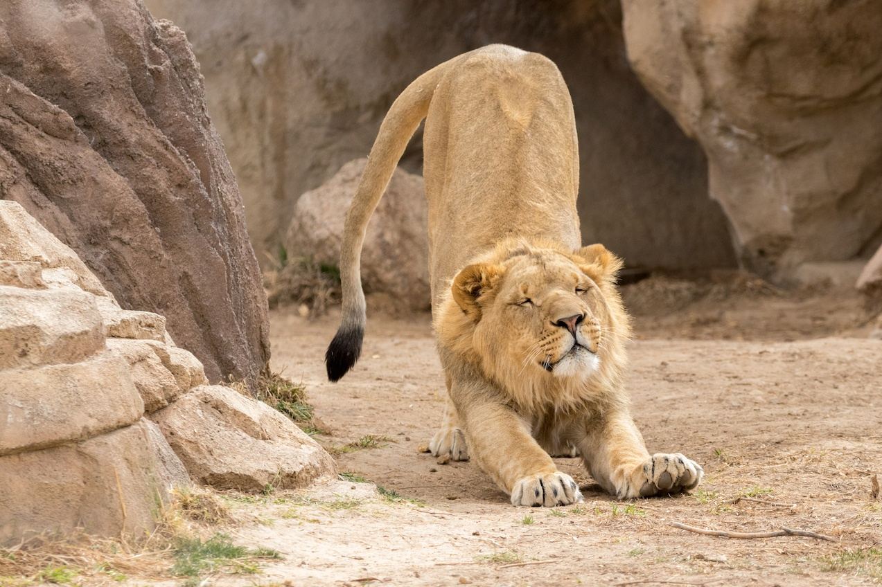 Stretching Lion at the Denver Zoo