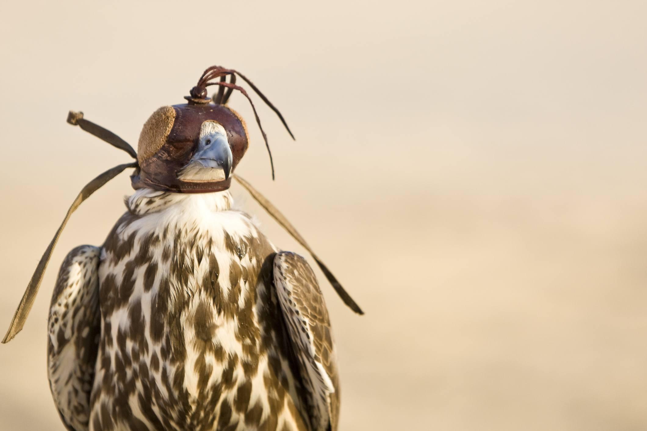 Hooded Falcon In The Desert of Arabia