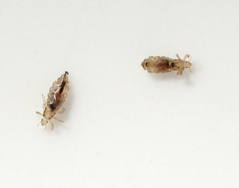Head lice crawl on a piece of paper.
