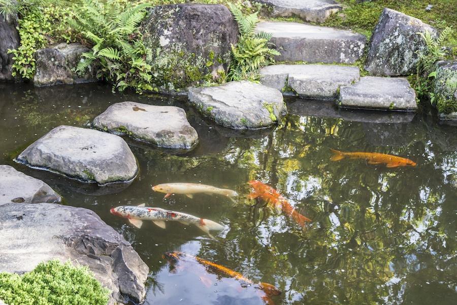 Colored koi carp in the national Japanese park. Himeji, Japan