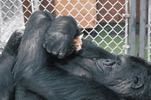 Remembering Koko: A Gorilla and the Story of Her Pet Cat 'All Ball'
