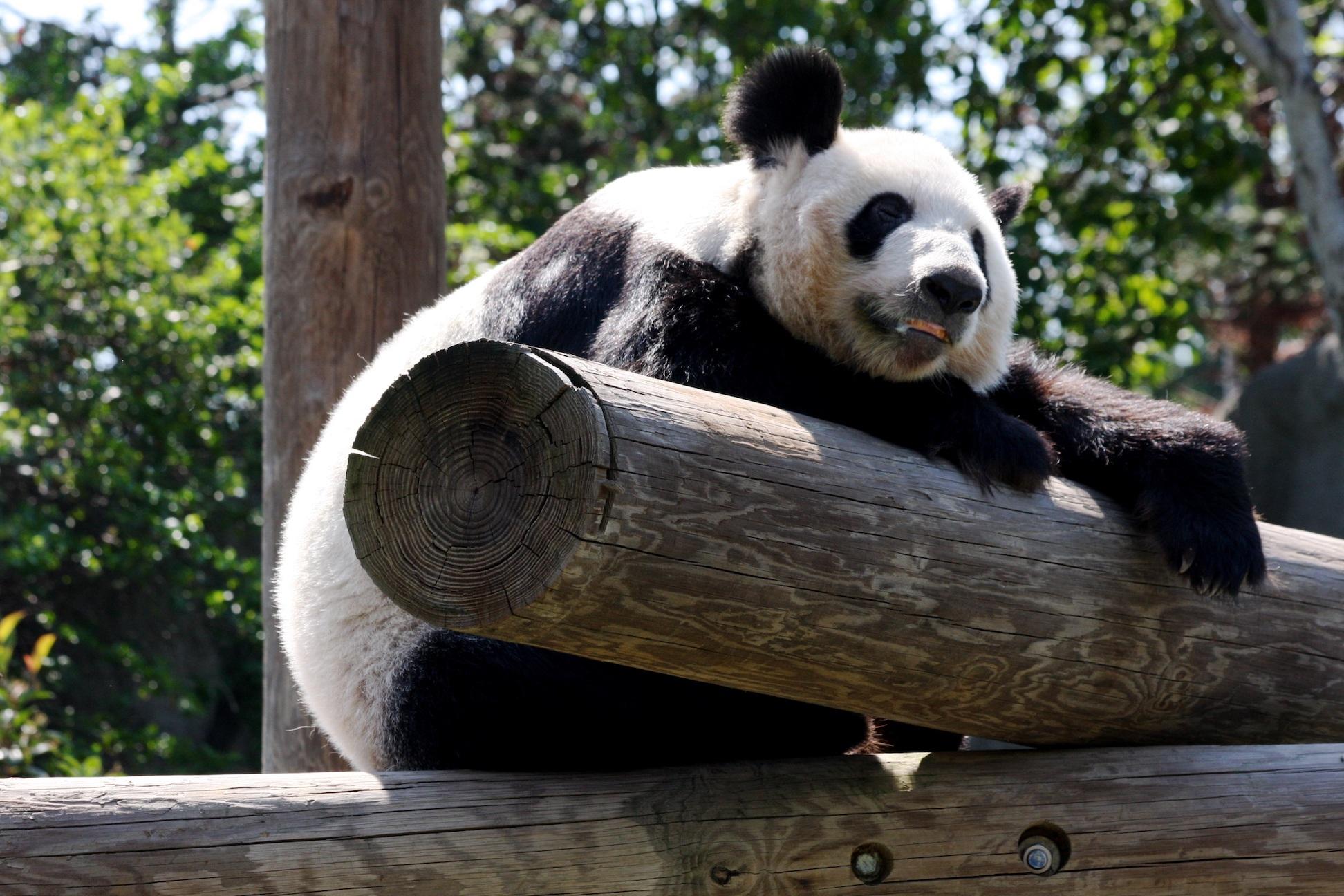 Memphis zoo panda