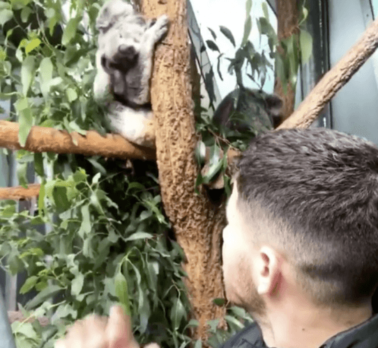Nick Jonas looking at a koala.