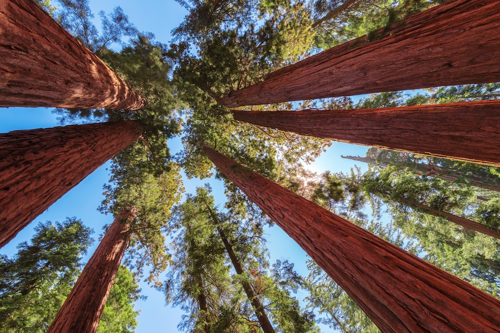 Giant Sequoias trees at sunset.