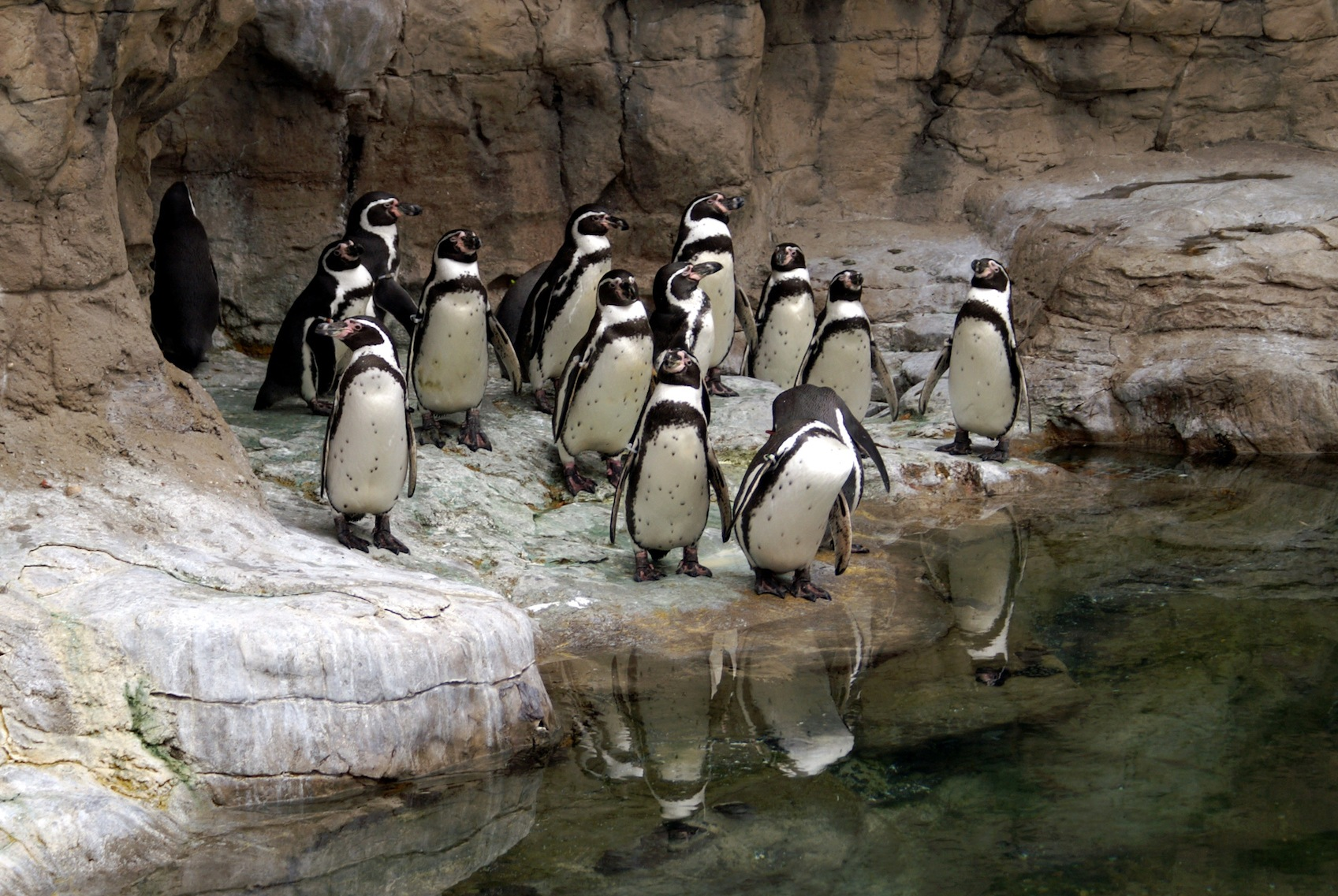 Group of Penguins at the St. Louis Zoo