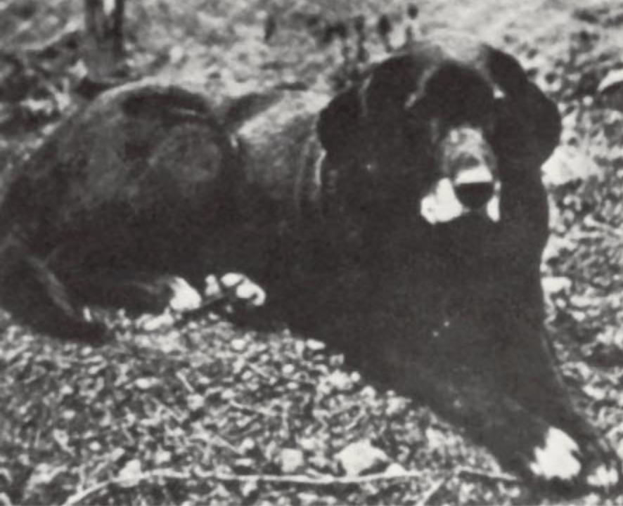 St. Johns dog