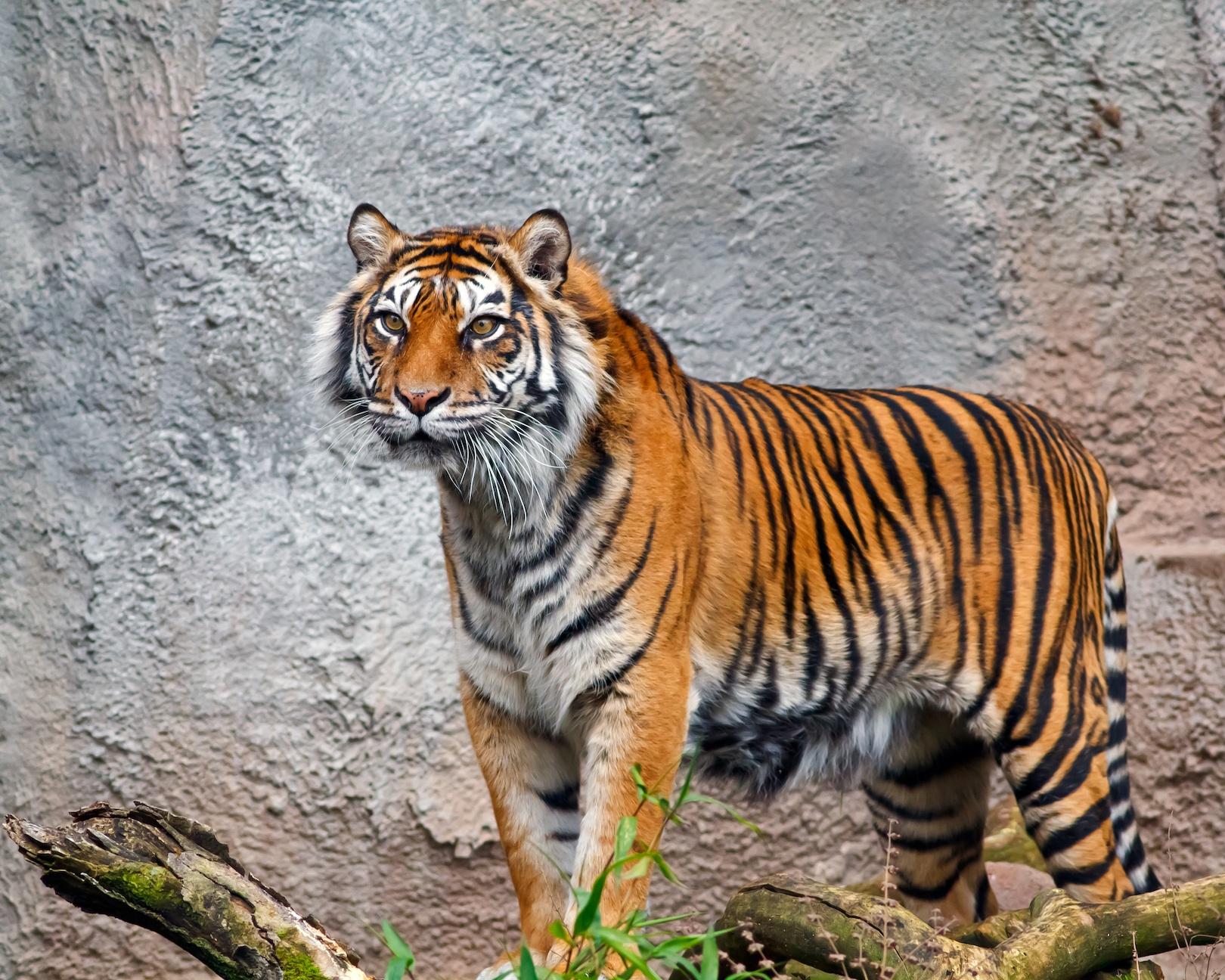 Sumatran Tiger at the Woodland Park Zoo