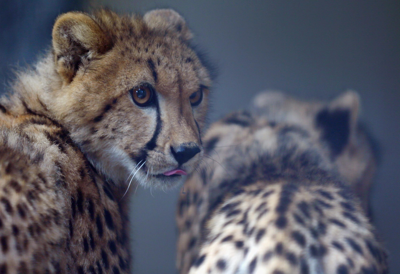Two young cheetahs at Zoo Miami