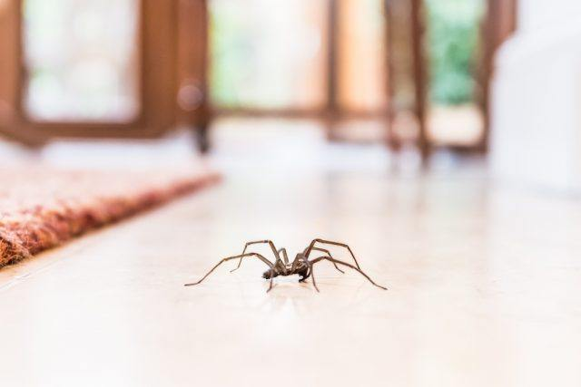 common house spider on a smooth tile floor