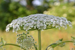 These Plants Look Exactly Like the Toxic Giant Hogweed — and They're Poisonous, Too