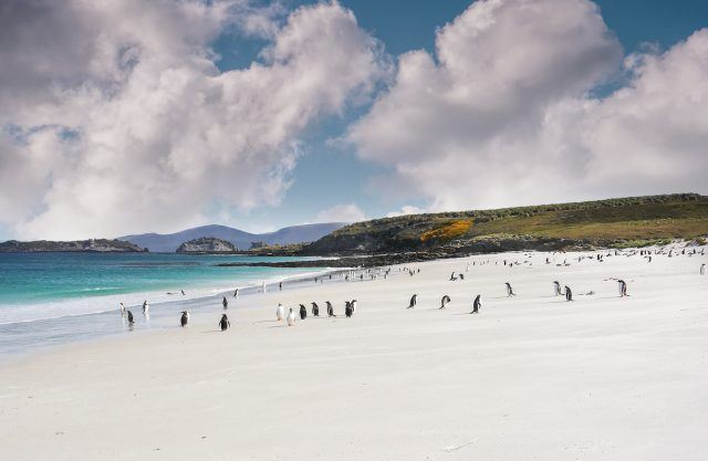 Colony of gentoo penguins near Port Stanley in the Falkland Islands