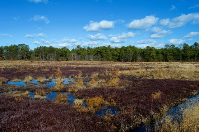 Cranberry Bogs in Pine Barrens New Jersey