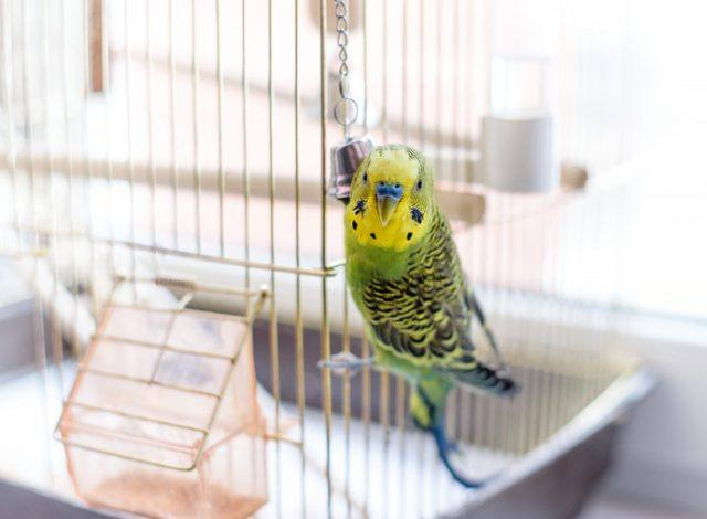 pet bird in cage
