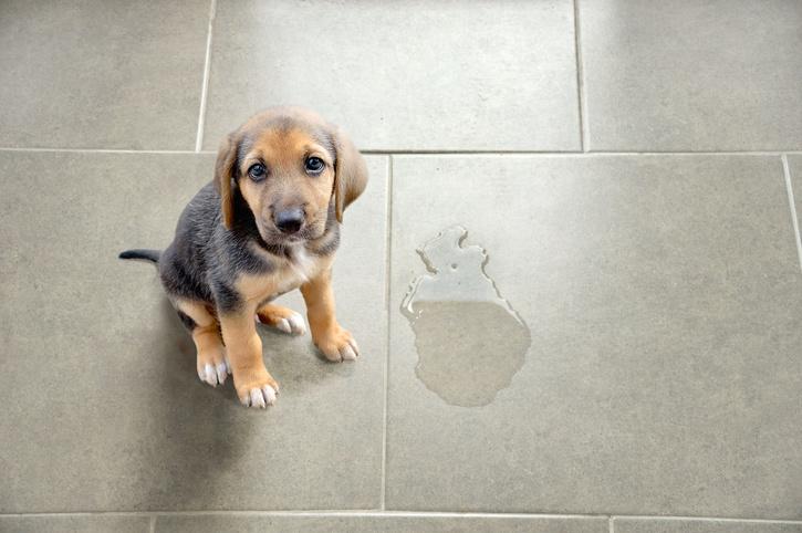puppy accident urine
