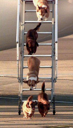 Queen Elizabeth II's dogs leave the queen's aircraft