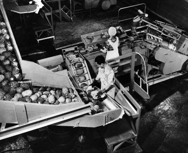 Fruit factory workers operate machinery for processing pineapples
