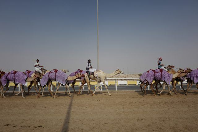 Camels training at the Al Shahaniya racetrack outside of Doha, Qatar